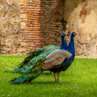 Peacocks at ST. George's Castle